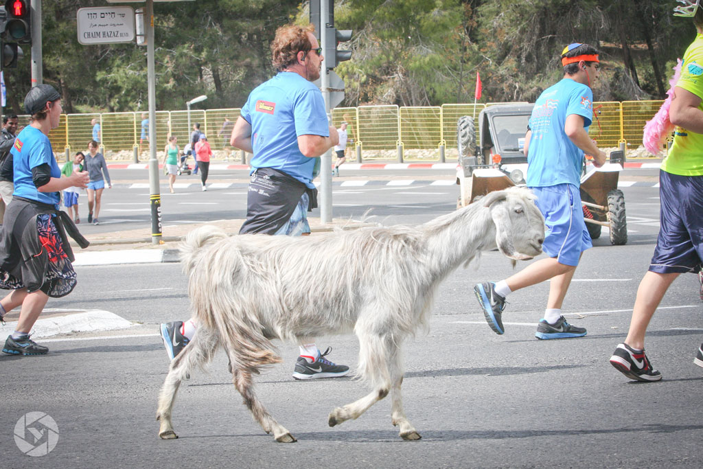 jerusalem marathon run runner goat photographed by Yonit Schiller © 2015 יונית שילר