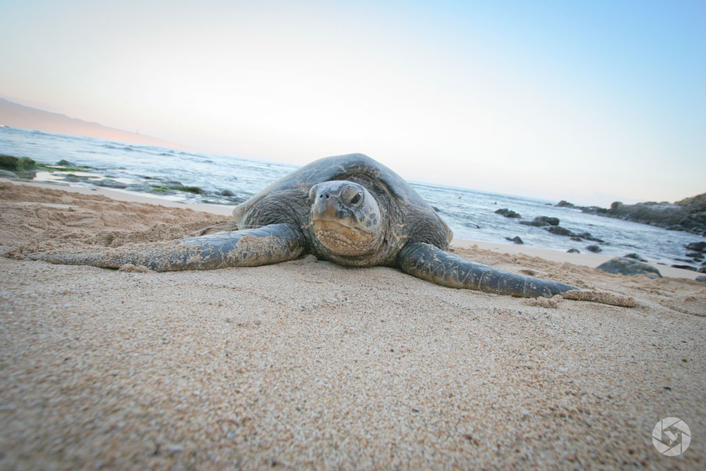 Yocheved Photographer Yonit Schiller. maui sea turtle hawaii photographed by Yonit Schiller © 2015 יונית שילר